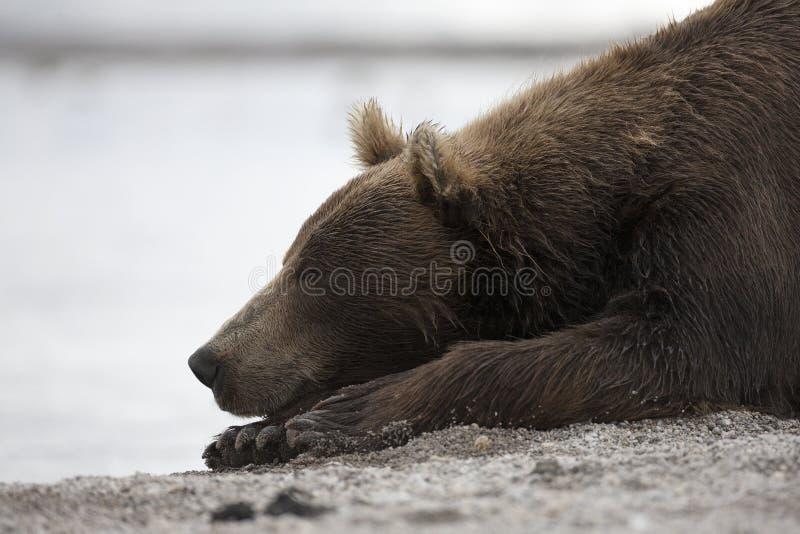 睡觉在湖岸的一头棕熊的画象  免版税库存照片