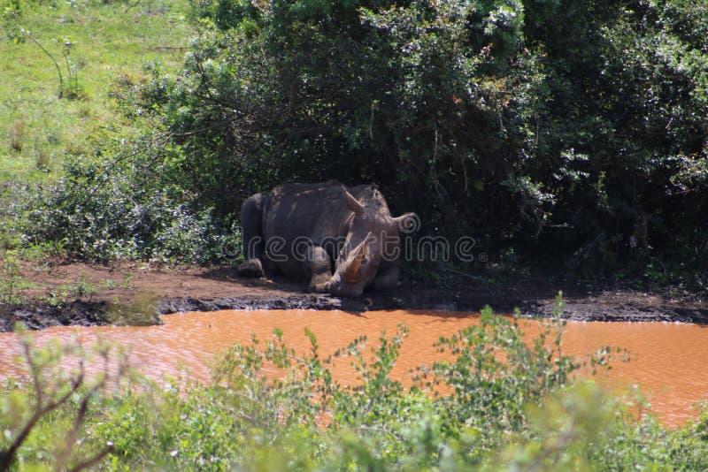 睡觉在灌木下的白色犀牛 免版税库存图片