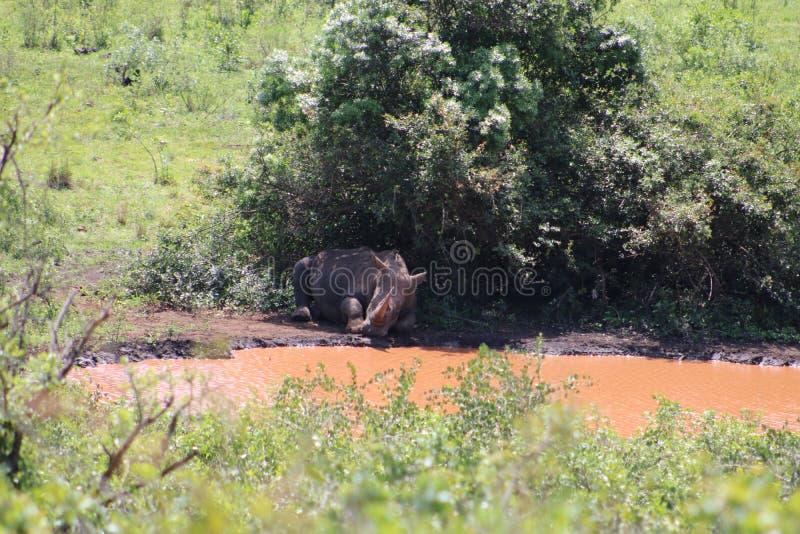 睡觉在灌木下的白色犀牛 库存照片