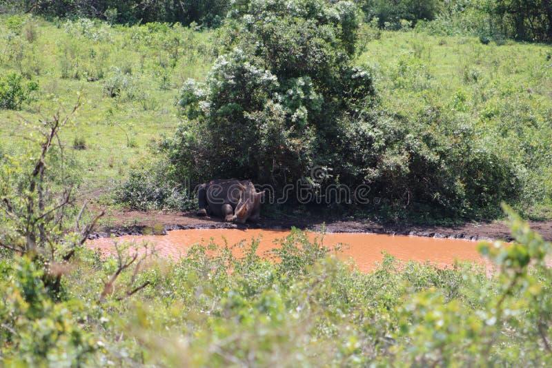 睡觉在灌木下的白色犀牛 免版税库存照片