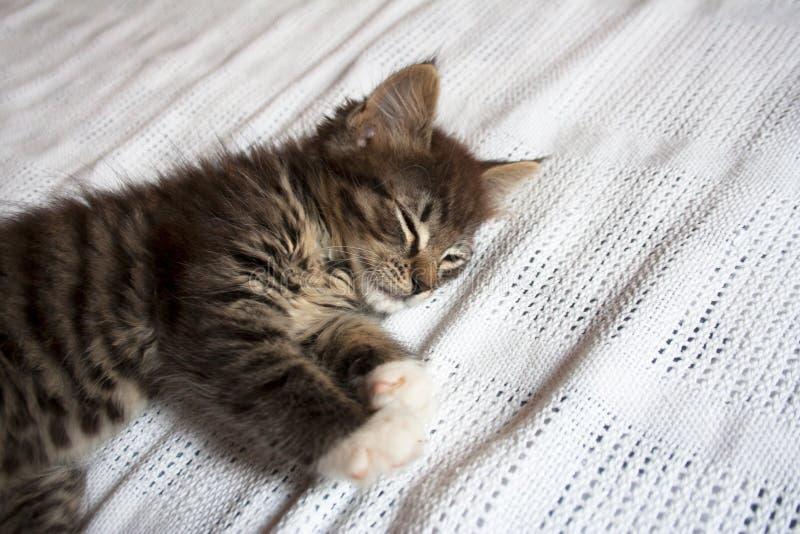 睡觉在白色毯子的逗人喜爱的小猫 库存图片