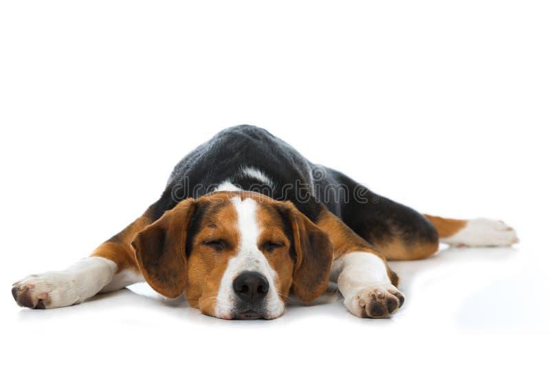 睡觉在白色背景的被混合的品种狗 免版税库存照片