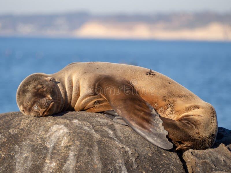 睡觉在石头的海狮幼崽在阳光下 免版税库存照片