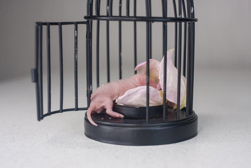 睡觉在笼子的小老鼠 新生儿鼠 库存照片