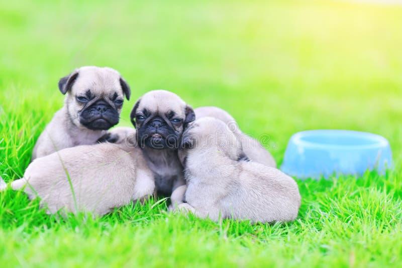 睡觉在绿色草坪的逗人喜爱的小狗哈巴狗 库存图片