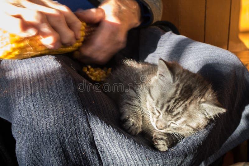 睡觉在膝部的灰色平纹小猫老妇人,当她清洗玉米棒子时 农村场面 在猫头的选择聚焦 库存图片