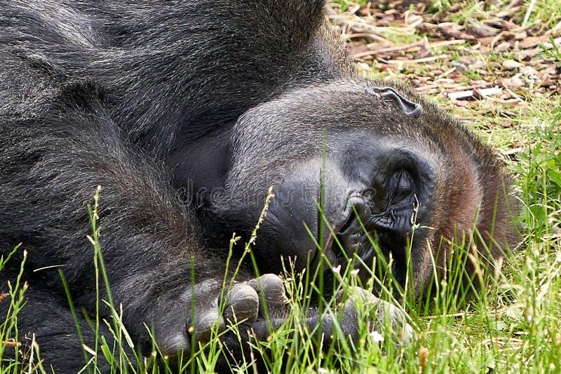 睡觉在草关闭的大猩猩  库存图片