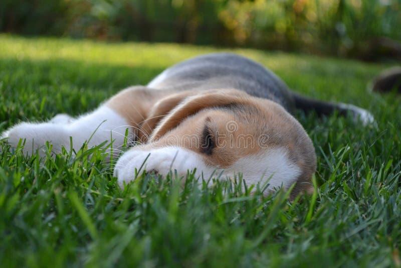 睡觉在草坪的小猎犬小狗 免版税库存图片