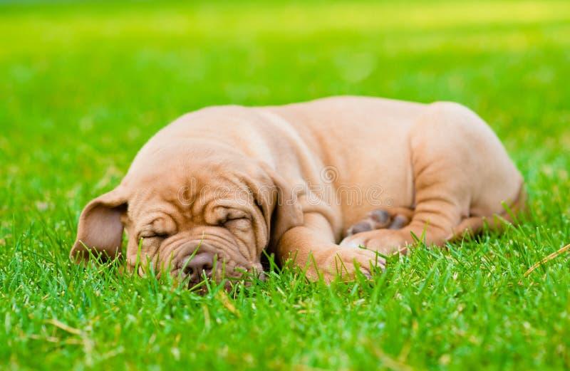 睡觉在草的疲乏的小狗 免版税库存照片