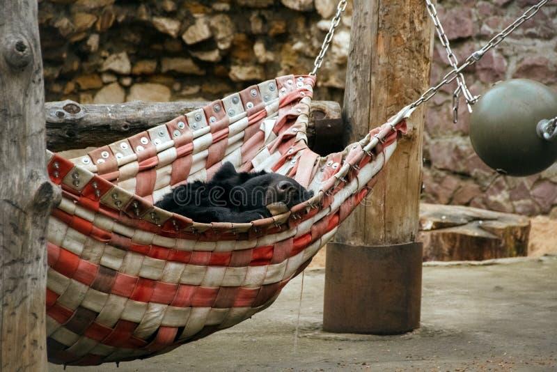 睡觉在莫斯科动物园里的亚洲黑熊 免版税库存照片