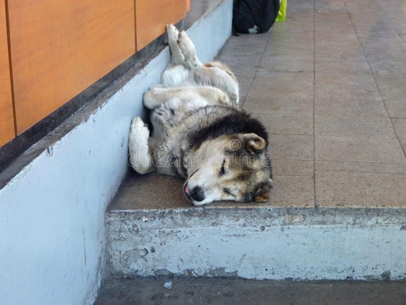 睡觉在街道的大白色狗 图库摄影