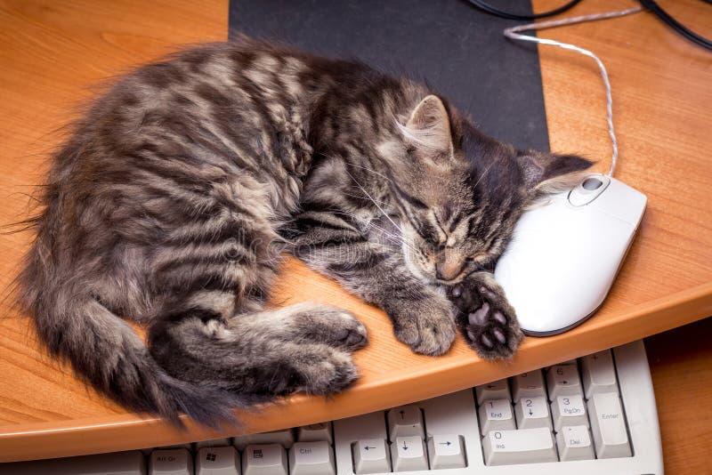 睡觉在计算机附近的一只小的小猫,投入他的头  免版税库存图片
