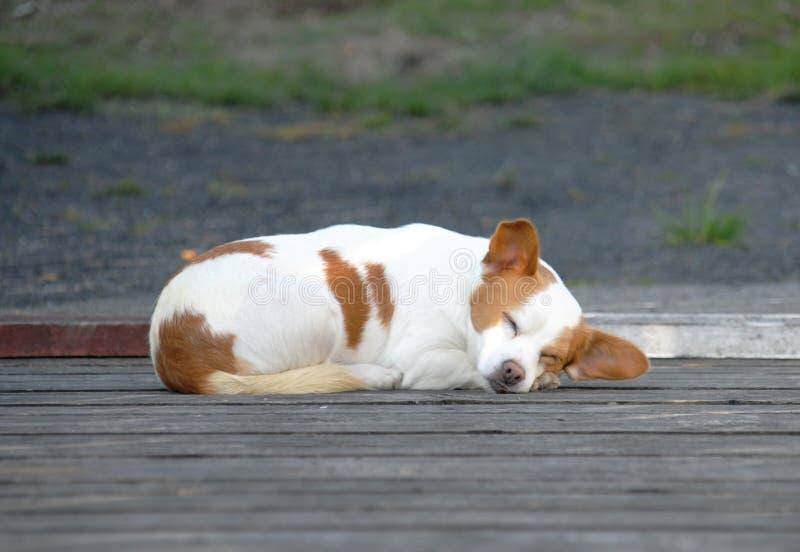 睡觉在路的小犬座 免版税库存图片