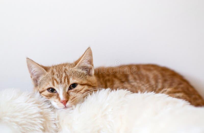 睡觉在软的白色毯子的逗人喜爱的小的姜小猫 库存照片
