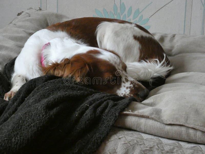 睡觉在辛苦作梦以后的满足的狗 库存图片