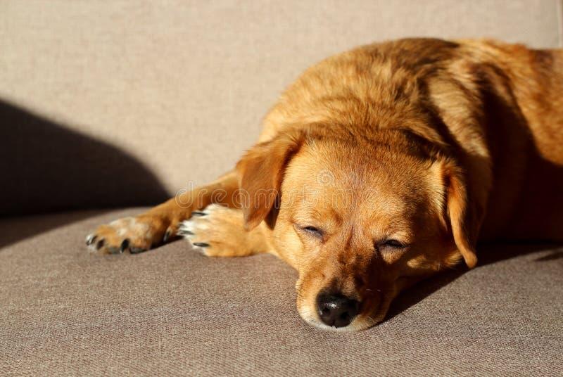 睡觉在长沙发的布朗狗 免版税库存图片