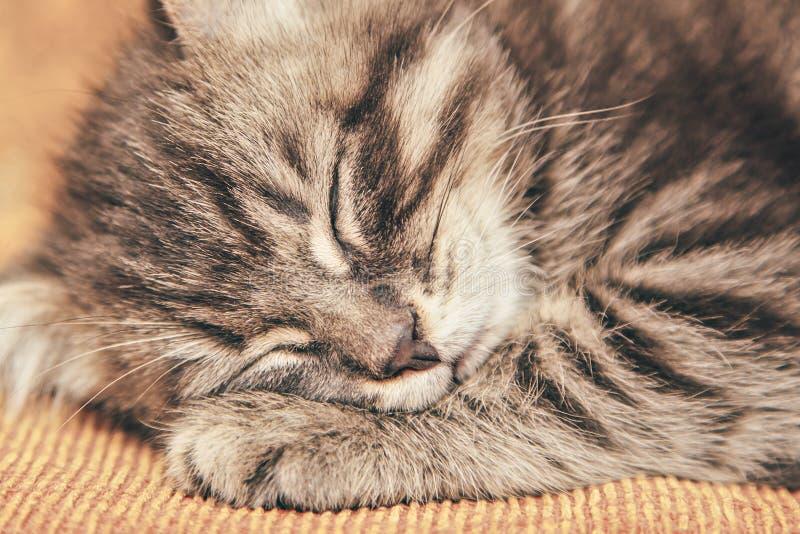 睡觉在长沙发的灰色小猫 库存照片
