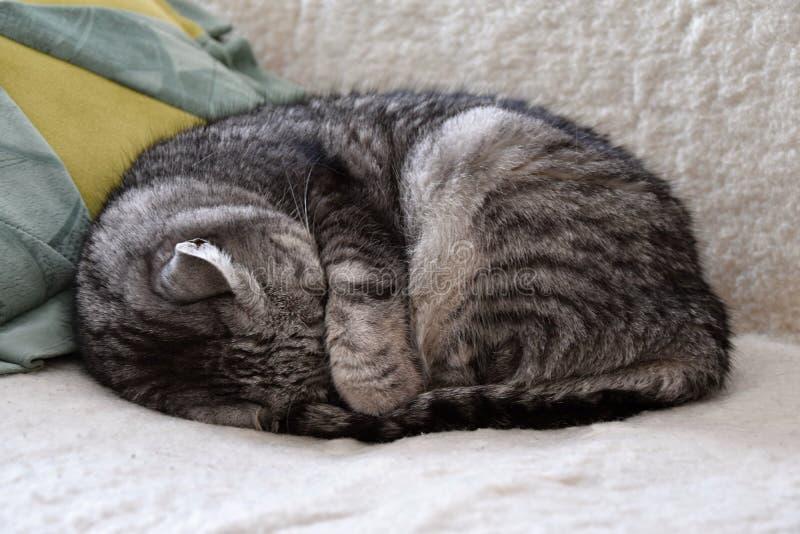 睡觉在长沙发的虎斑猫,掩藏他的头在它的爪子下 免版税库存图片