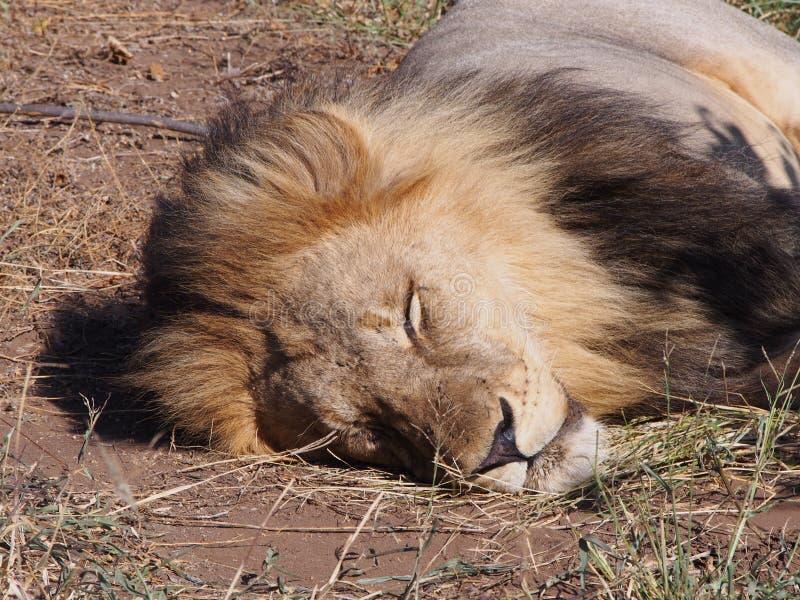 睡觉在阳光下在博茨瓦纳平原的狮子特写镜头 库存照片