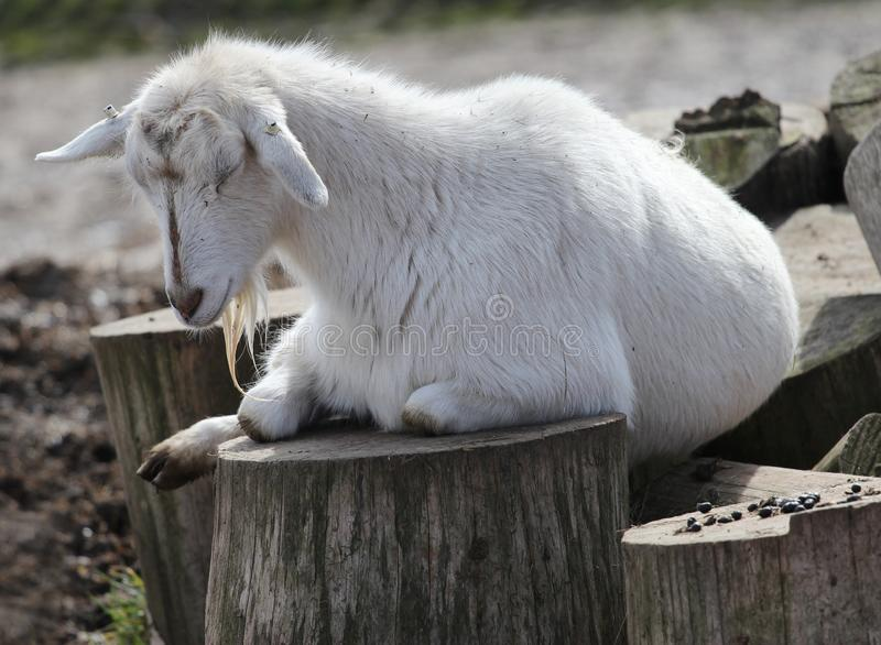 睡觉山羊画象  图库摄影
