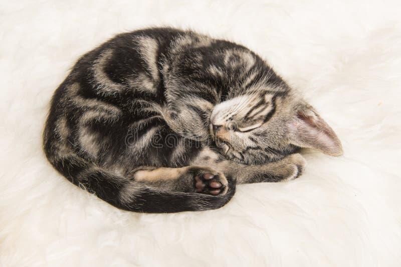 睡觉平纹小猫在一张白色毛皮卷起了 库存照片