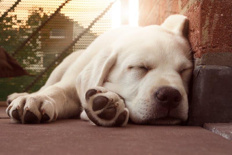睡觉拉布拉多尾随倾斜在墙壁的小狗在日落 库存图片