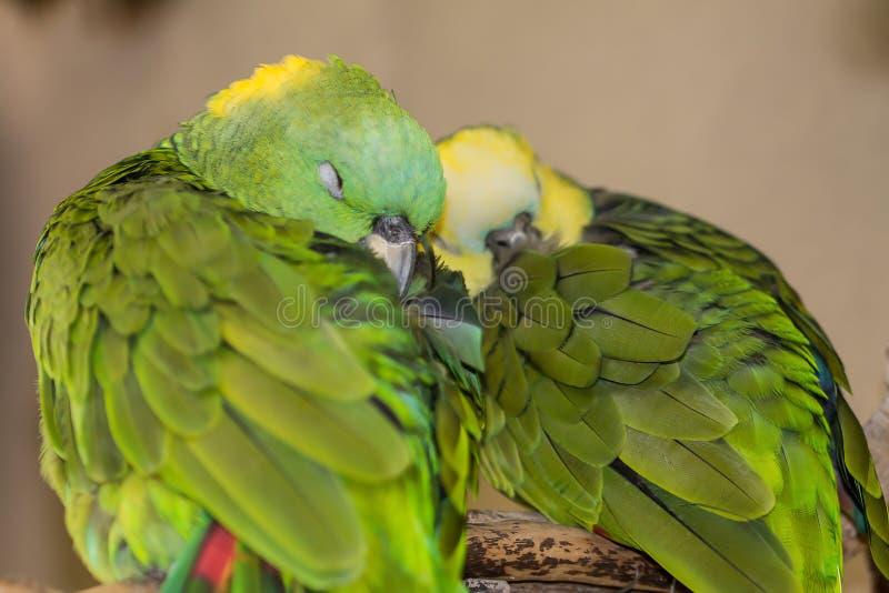 睡觉拥抱互相的爱鸟 库存照片