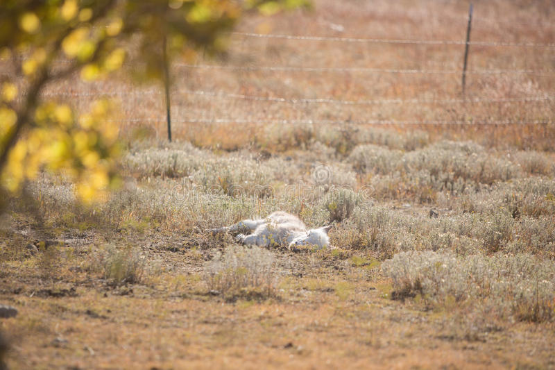 睡觉新出生的小驴 图库摄影