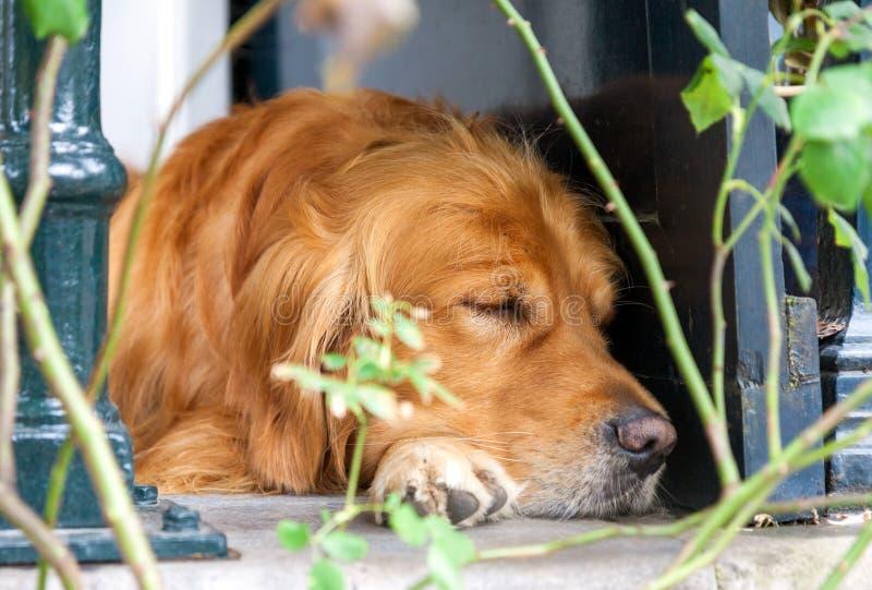 睡觉毛茸的棕色的狗放置和户外 免版税库存图片