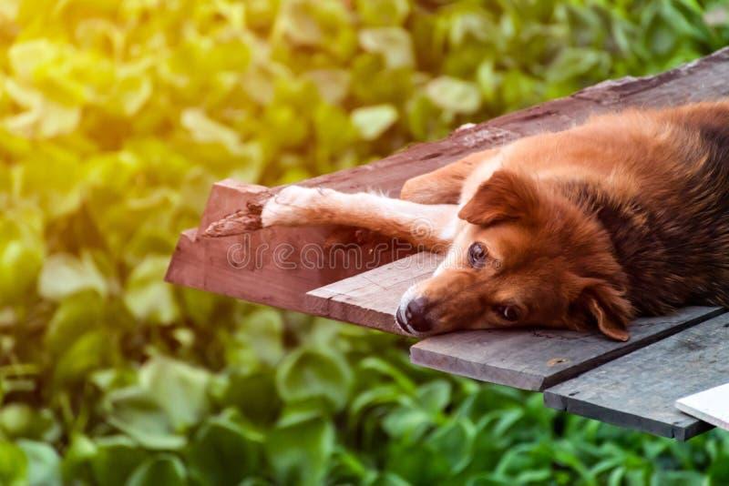 睡觉狗,但是睁开眼睛 库存图片