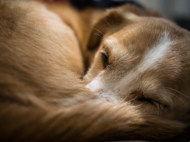 睡觉狗,关闭,狗卷起了与在鼻子的尾巴 免版税库存照片