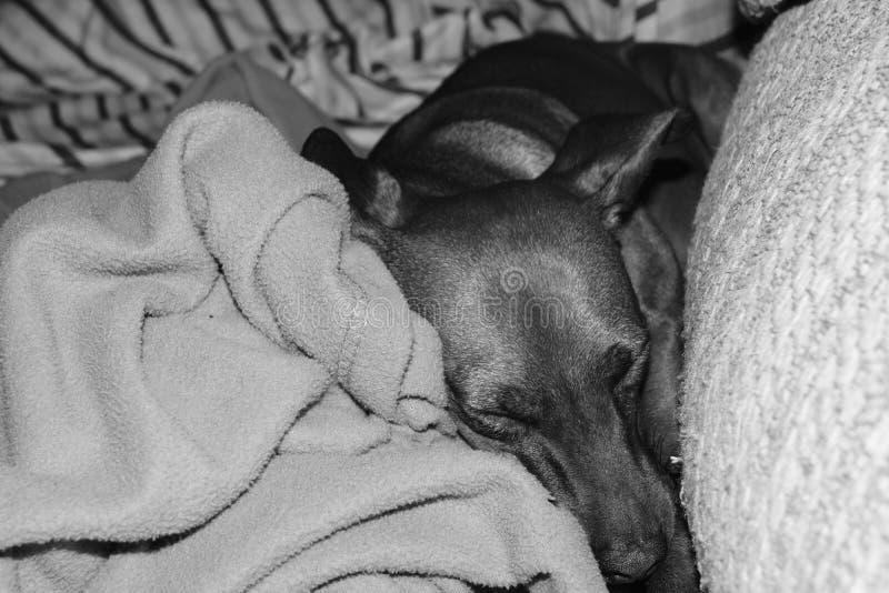 睡觉狗 免版税图库摄影