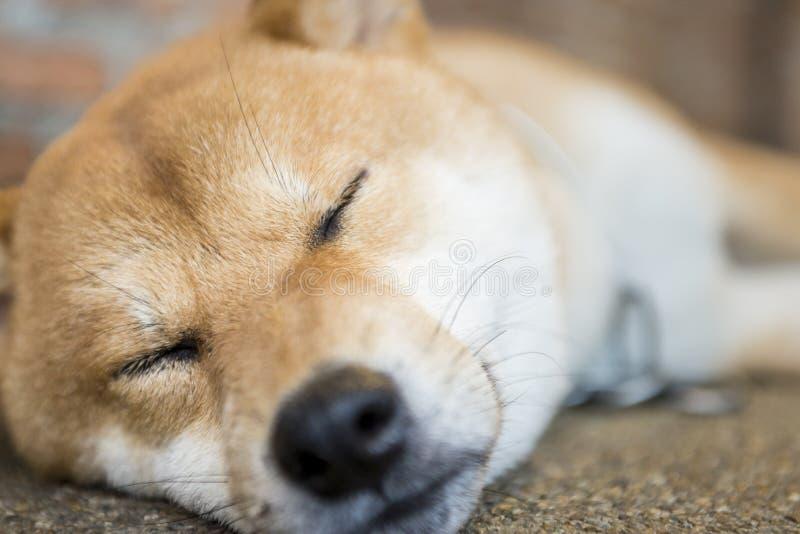 睡觉狗 库存照片