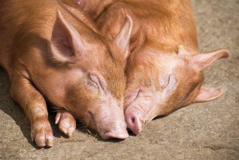 睡觉猪 图库摄影