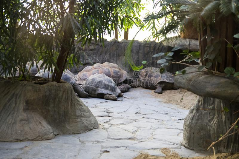 睡觉的小组巨型乌龟放松或动物园 免版税库存照片