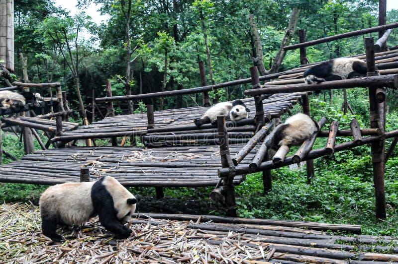 睡觉的熊猫只吃和 库存照片