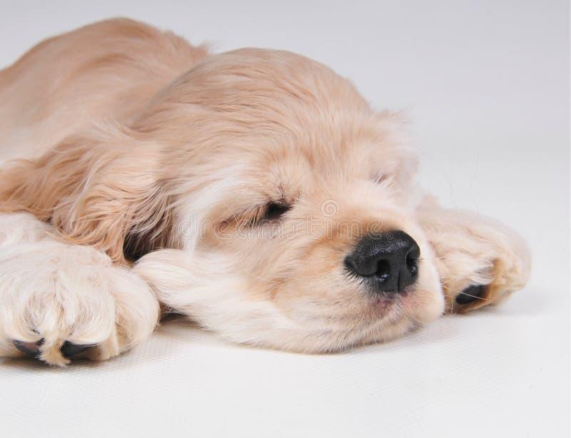 睡觉的猎犬紧密  免版税库存图片