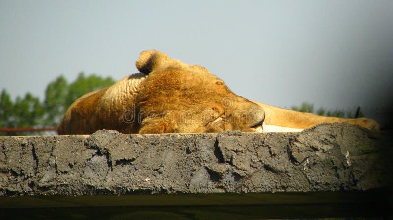 睡觉的雌狮在阳光下 免版税库存照片