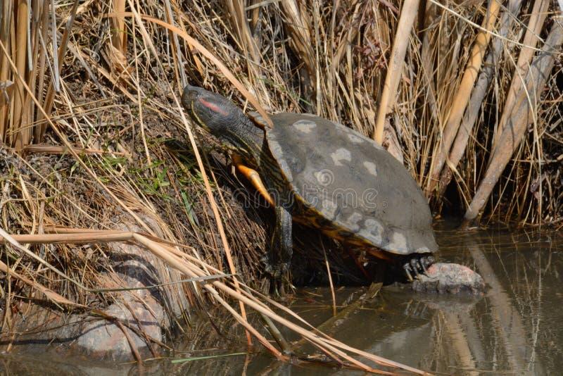 睡觉红有耳的滑子乌龟 免版税库存照片