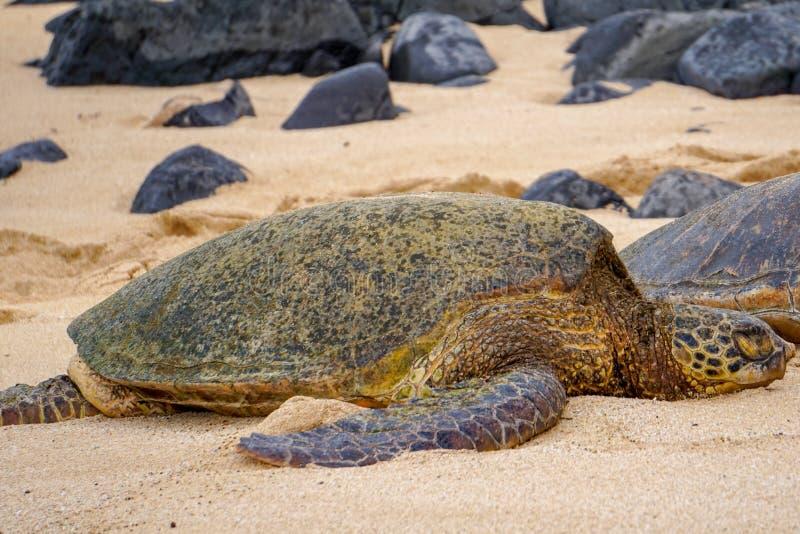 睡觉绿浪乌龟 库存照片