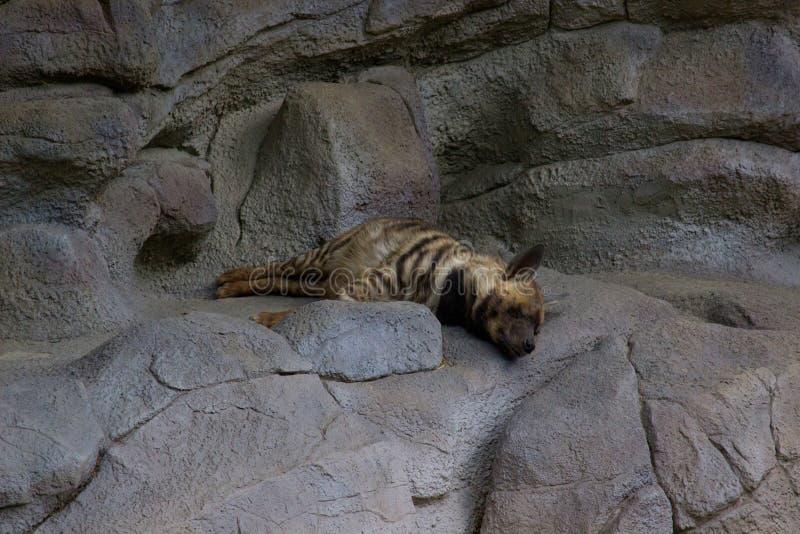 睡觉鬣狗 库存照片