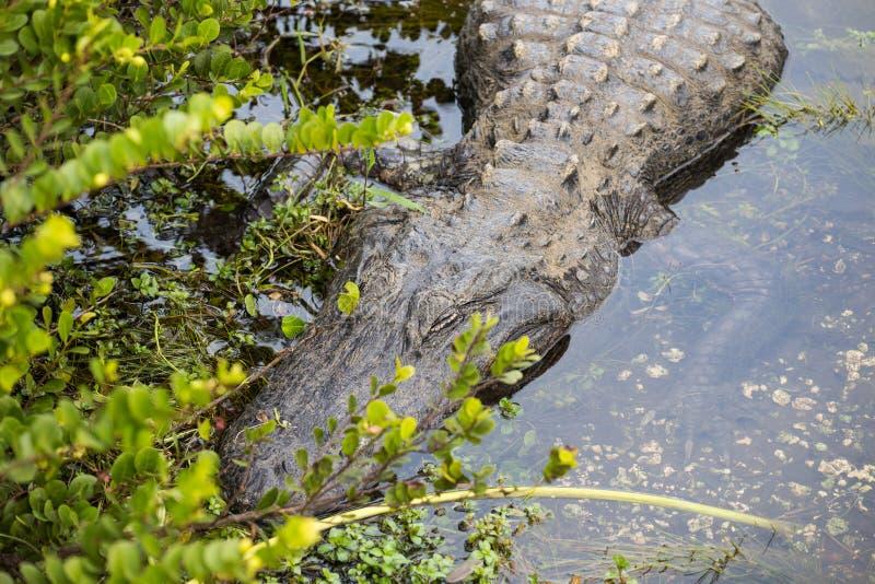 睡觉鳄鱼在佛罗里达 库存图片