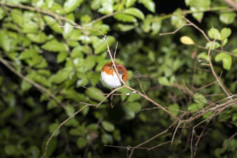 睡觉鸟,夜射击 马达加斯加 库存照片