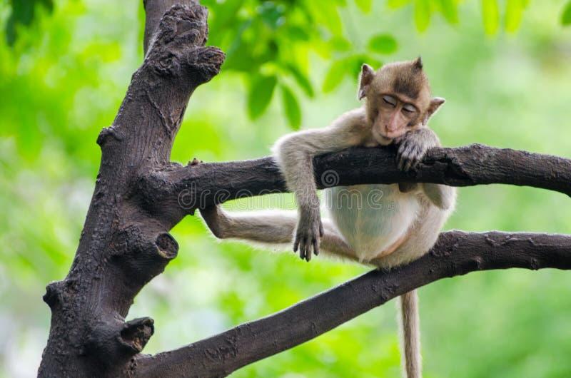 睡觉猴子 免版税库存图片