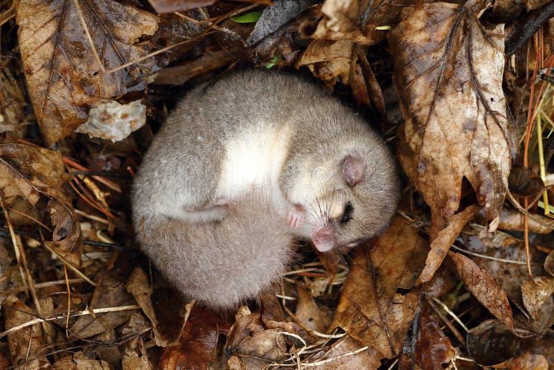 睡鼠睡觉 免版税库存照片