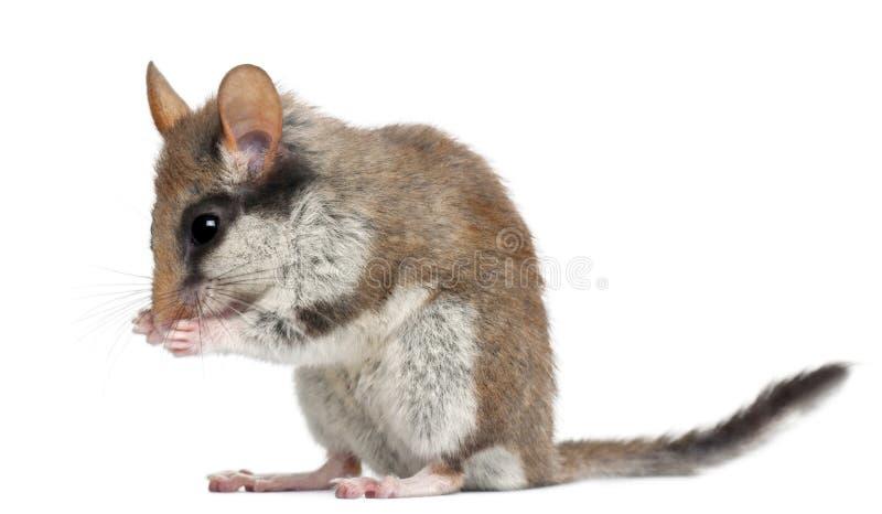 睡鼠eliomys庭院quercinus 库存照片