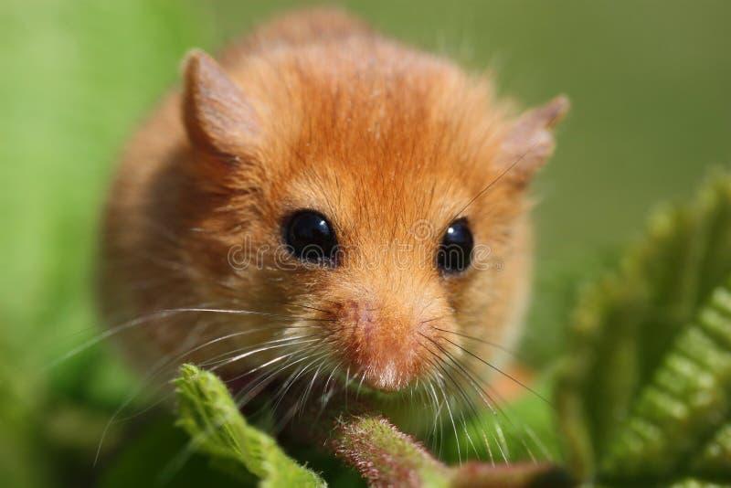 睡鼠Muscardinus avellanarius 免版税图库摄影