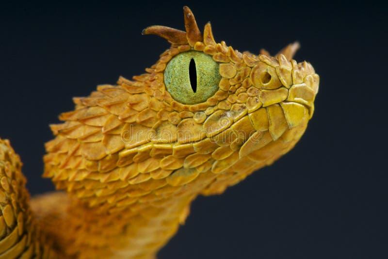 睫毛灌木蛇蝎/Atheris ceratophora 免版税库存照片