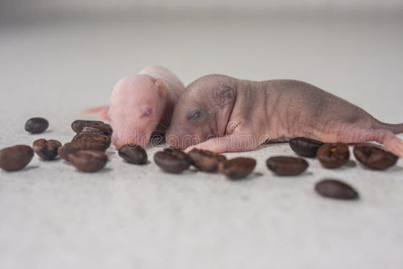 瞎的鼠崽 新出生的老鼠在咖啡豆背景睡觉  库存图片