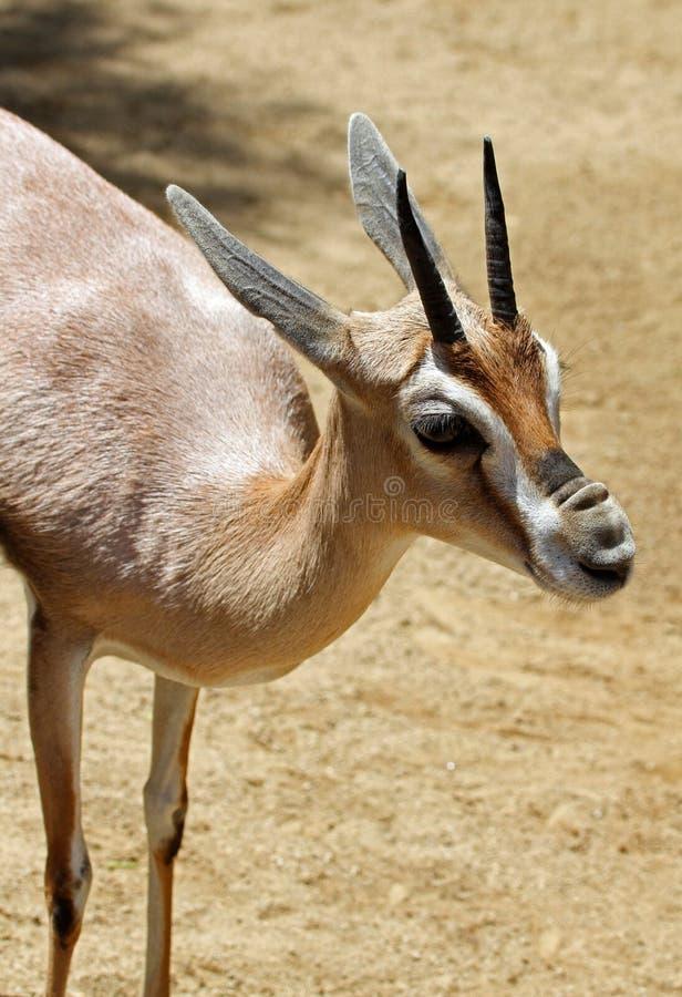 瞪羚_瞪羚库存照片.图片包括有野生生物,起皱纹,抗氧剂,行程